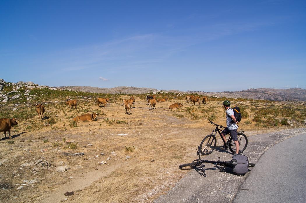 Homem com bicicleta na serra a ver as vacas a pastar