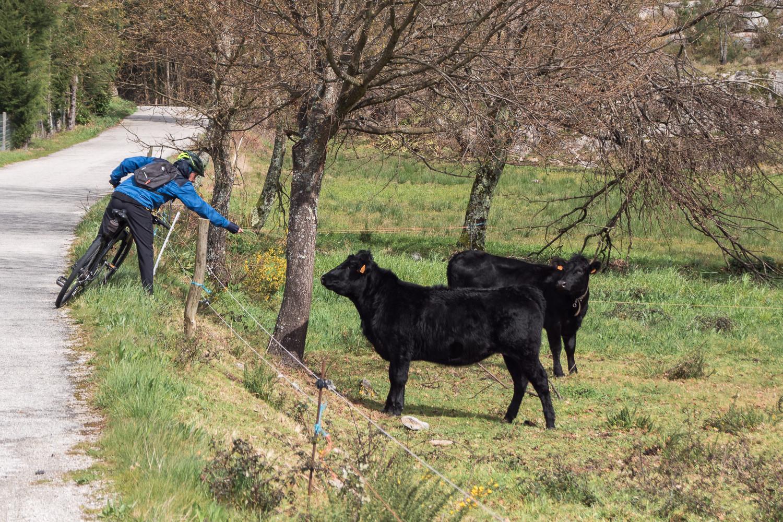 homem a comprimentar vacas pretas